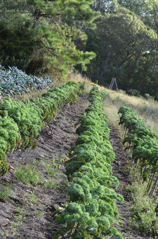 OT Kale field.jpg
